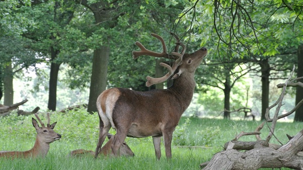 Richmond Park, la nature à l'état sauvage